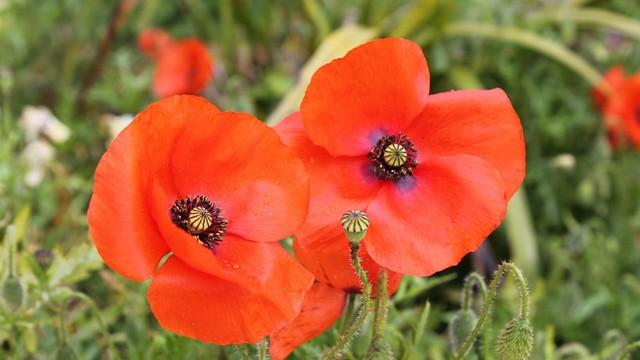 poppy-991326_960_720
