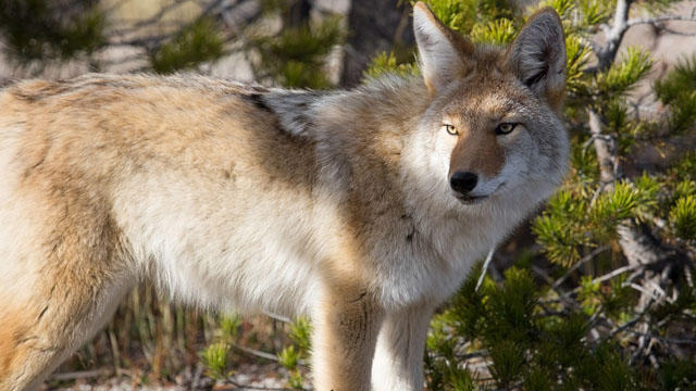 coyote_pic